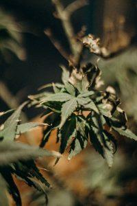 terpène dans le cannabis médicinal